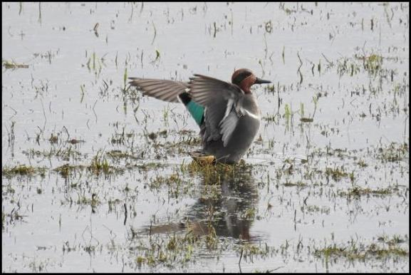 Green-winged Teal 050318 1