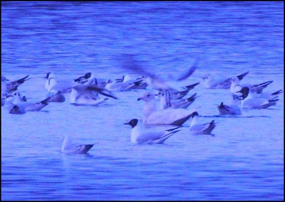 Iceland Gull 280318 1
