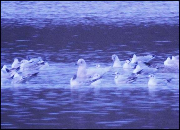 Iceland Gull 280318 2