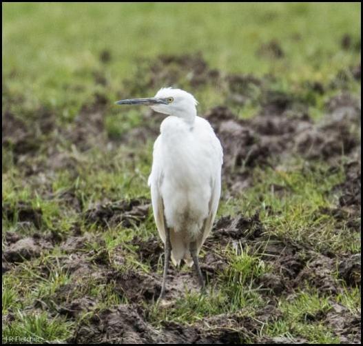 Little Egret 240318
