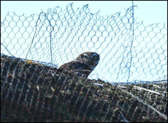 Little Owl 210318
