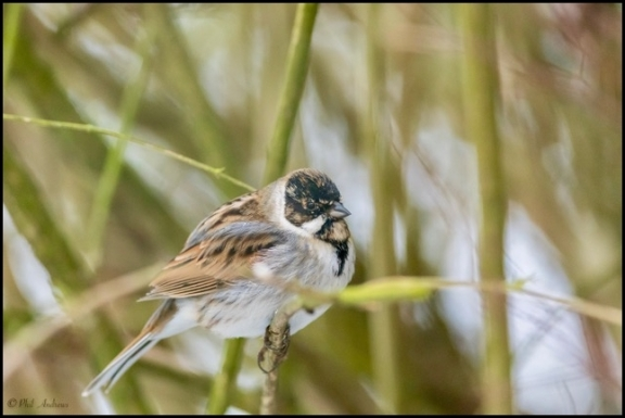Reed Bunting 030318