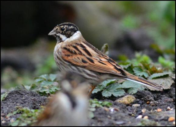 Reed Bunting 090318