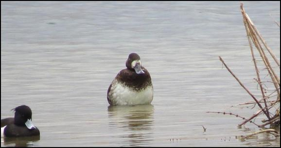 Scaup 240318