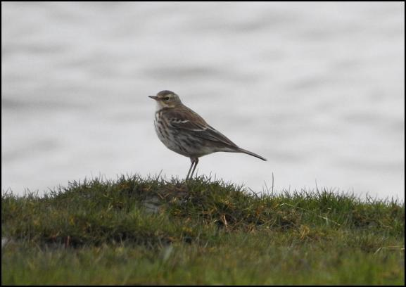 Water Pipit 050318