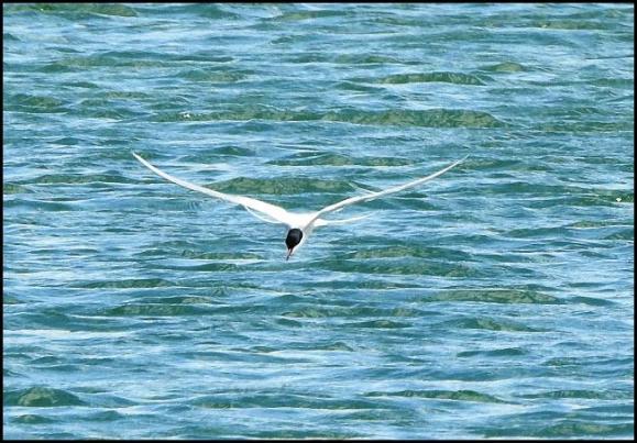 Arctic Tern 260418
