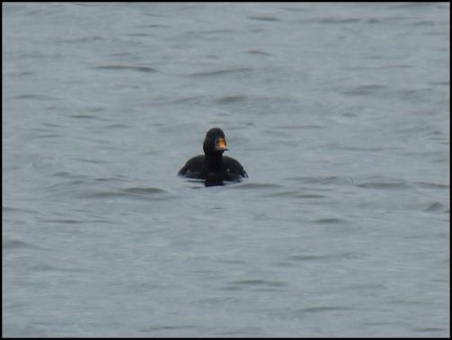 Common Scoter 150418