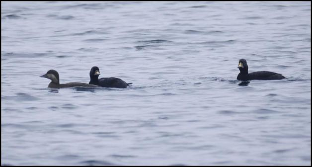 Common Scoters 080418