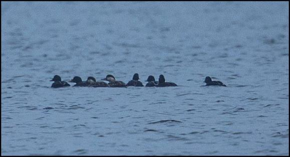 Common Scoters 120418 2