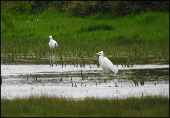 Great White Egret 300418