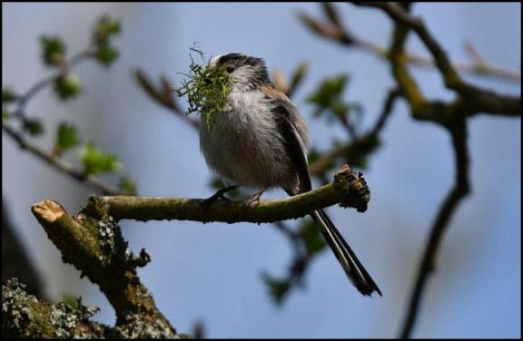 Long-tailed Tit 180418