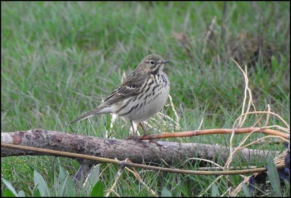Meadow Pipit 120418