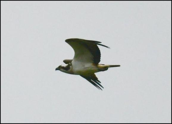 Osprey 130418