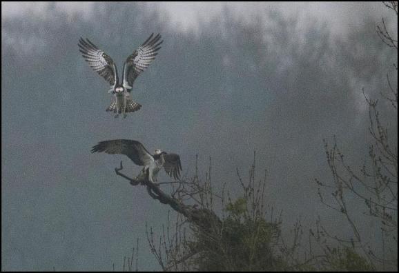 Ospreys 130418