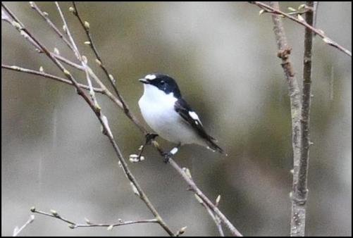 Pied Flycatcher 150418