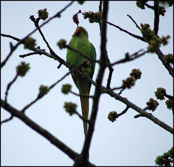 Ring-necked Parakeet 100418