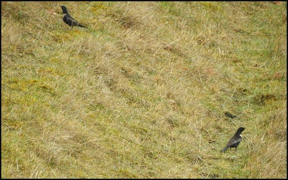 Ring Ouzels 110418