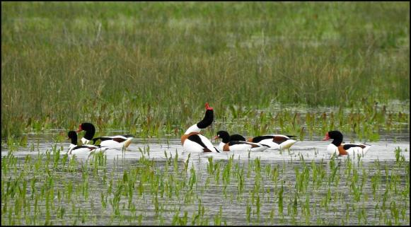 Shelducks 100418