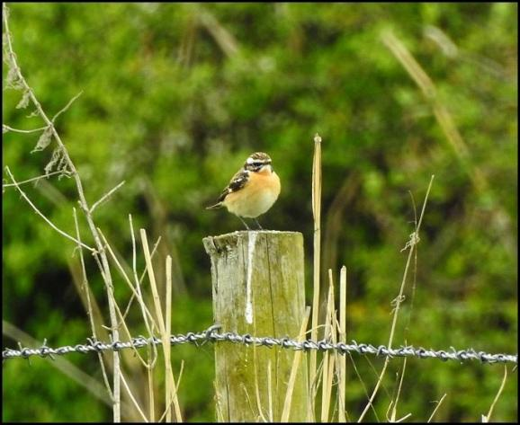 Whinchat 300418