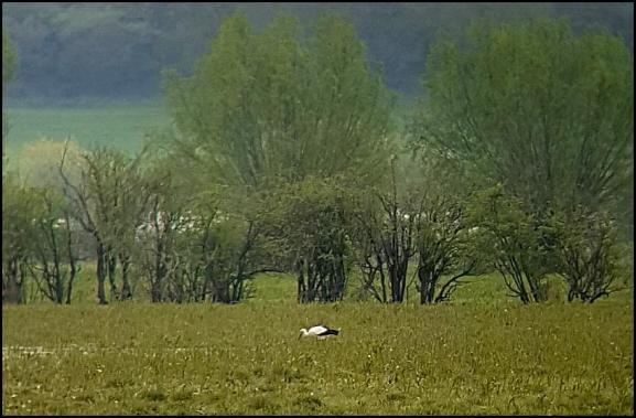 White Stork 220418