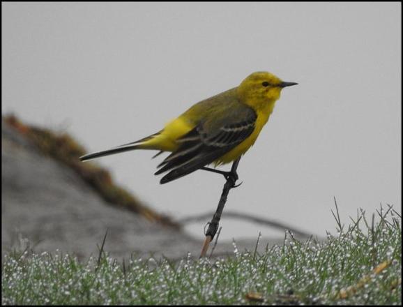 Yellow Wagtail 130418 1