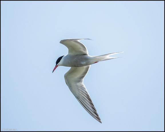 Common Tern 170518
