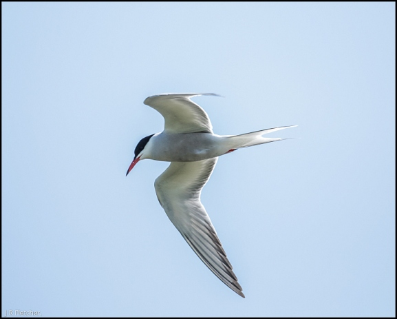 Common Tern 170518