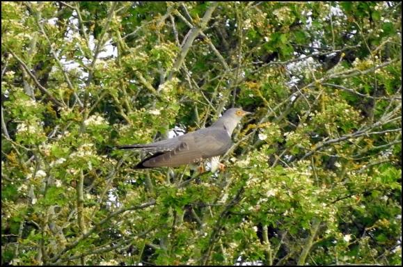 Cuckoo 2 270518.jpg