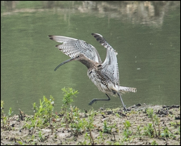 Curlew 240518