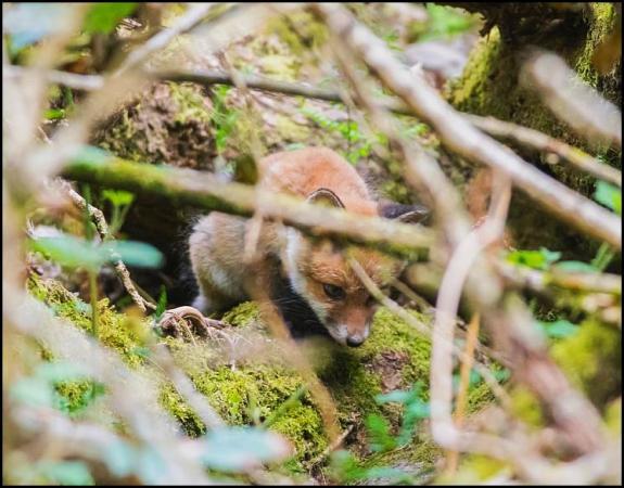 Fox cub 080518