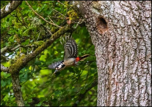 Great Spotted Woodpecker 120518