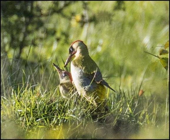 Green Woodpeckers 020518