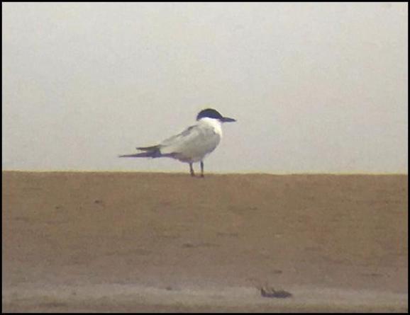 Gull-billed Tern 250518