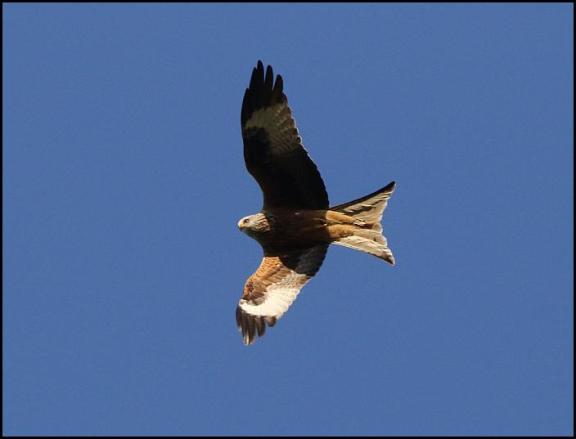Red Kite 050518
