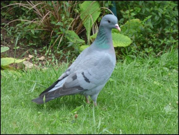 Stock Dove 310518.jpg