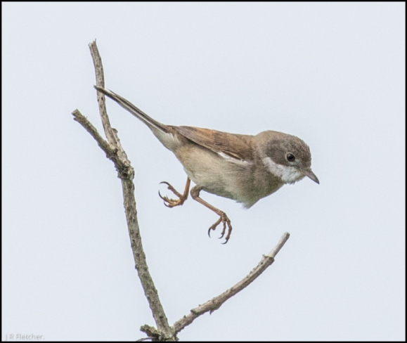 Whitethroat 090518