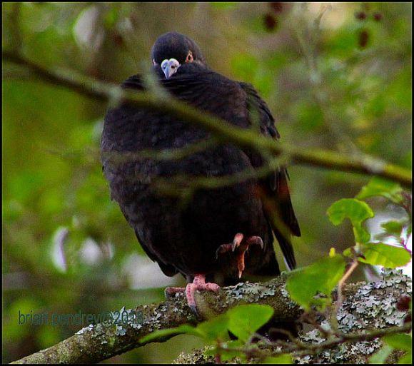 Woodpigeon 200518
