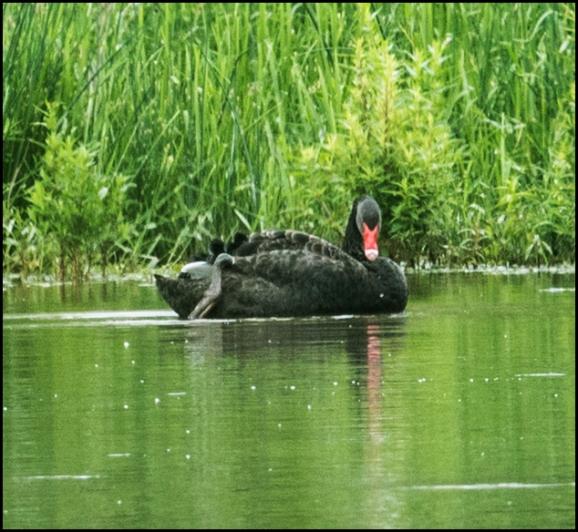 Black Swan 080618