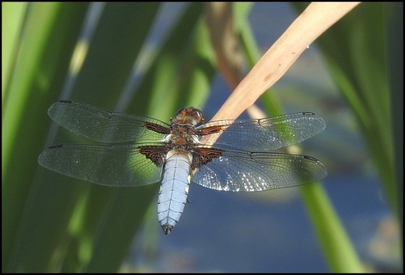 Broad-bodied Chaser 020618