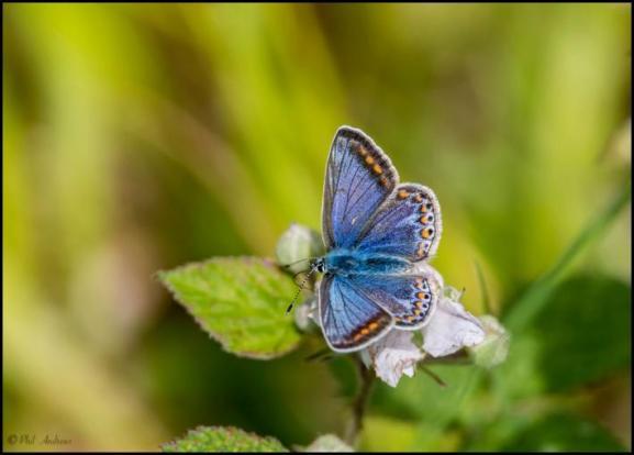Common Blue 090618