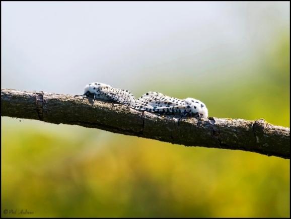 Leopard Moths 280618