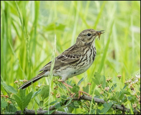 Meadow Pipit 010618