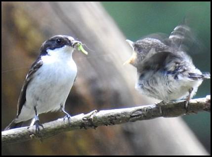 Pied Flycatchers 120618