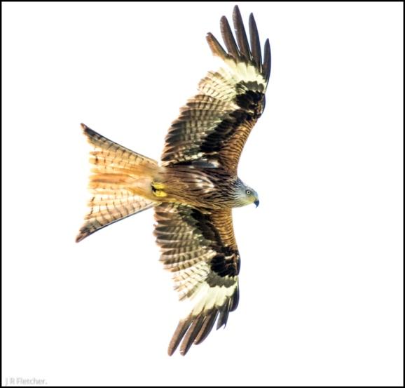 Red Kite 220618