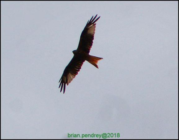 Red Kite 230618