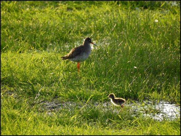 Redshank & chick 050618