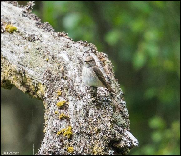Spotted Flycatchers 050618