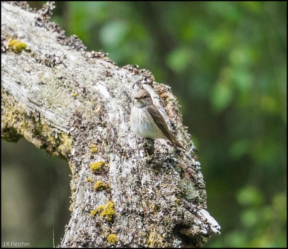 Spotted Flycatchers 050618