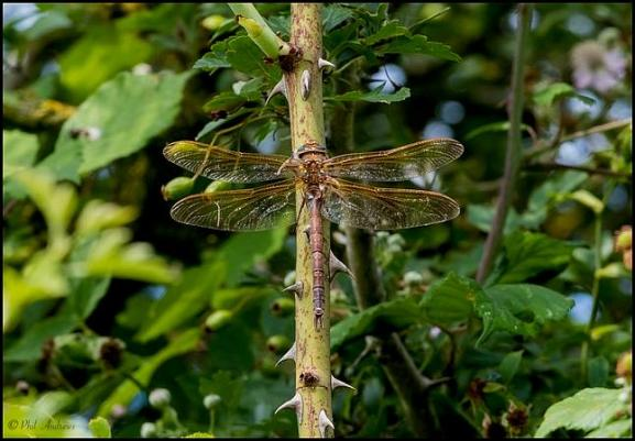 Brown Hawker 120718