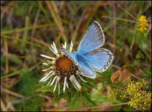 Chalkhill Blue 260718